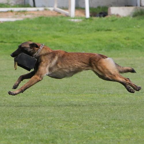 Matériel de dressage chien en Schutzhund «En Avant» - TE30