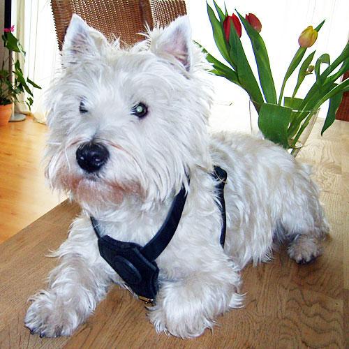 Harnais cuir petit chien «Balade de détente» - H2